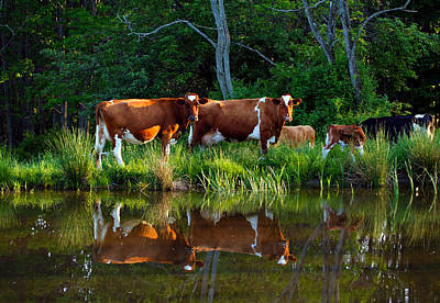 Guernsey Cows Art Print by David Simons