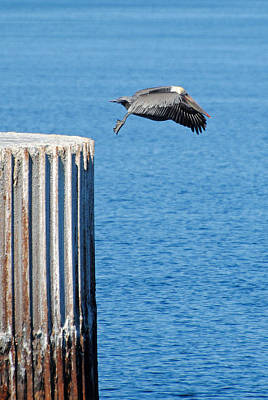 Photograph - Guerrero Negro Salt Works Pelican14 by Jeff Brunton
