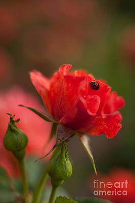 Roses Royalty-Free and Rights-Managed Images - Guest of the Queen by Mike Reid
