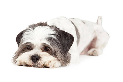 Full-length Portrait Photograph - Guilty Looking Lhasa Apso Dog Laying by Susan Schmitz