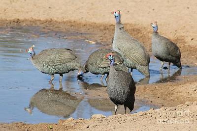 Grace Kelly - Guinea Fowl Flock by Hermanus A Alberts