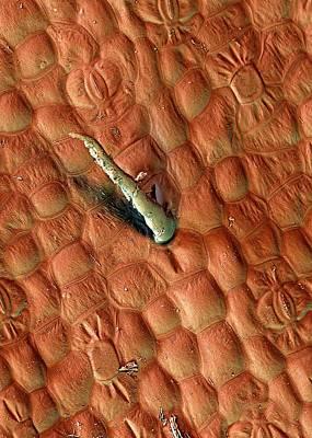 Guinea Wall Art - Photograph - Guinea Pepper Leaf Trichome by Stefan Diller