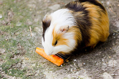 Guinea Pig Art Print by Pati Photography