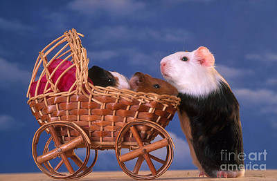 Photograph - Guinea Pig With Young In Stroller by Alan and Sandy Carey