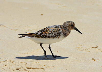 Photograph - Gulf Coast Ruddy Turnstone by Carla Parris