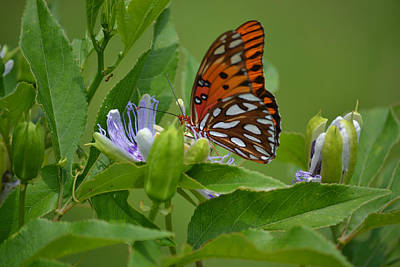 Photograph - Gulf Fritillary And Purple Passion Flower by rd Erickson