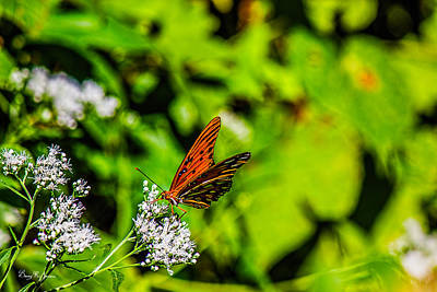 Photograph - Nature - Macro - Gulf Fritillary Butterfly by Barry Jones