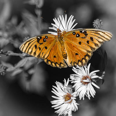 Photograph - Gulf Fritillary Butterfly by Carolyn Marshall