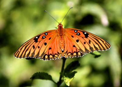 Photograph - Gulf Fritillary Butterfly by Jeanne Kay Juhos