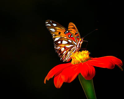 Butterfly Photograph - Gulf Fritillary Butterfly by Mark Andrew Thomas