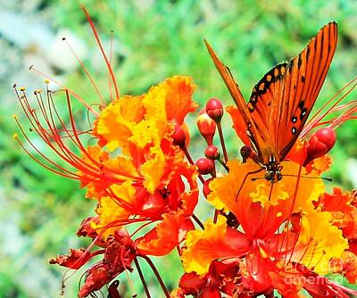 Gulf Fritillary Butterfly On Pride Of Barbados Art Print