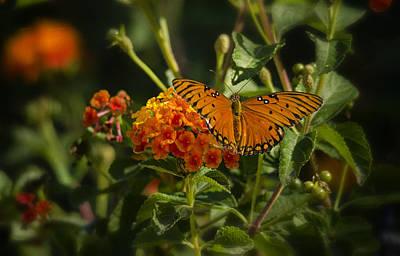 Photograph - Gulf Fritillary Butterfly  by Saija  Lehtonen