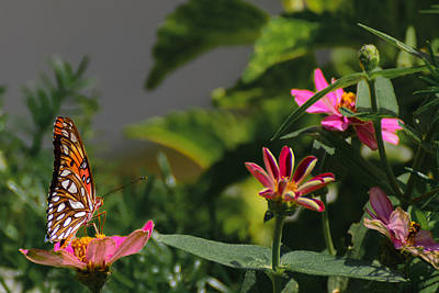 Colias Philodice Photograph - Gulf Fritillary Butterfly Surveys His Domain by Steve Samples