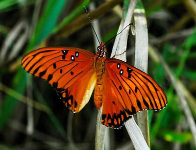 Butterfly Photograph - Gulf Fritillary by David Mortenson