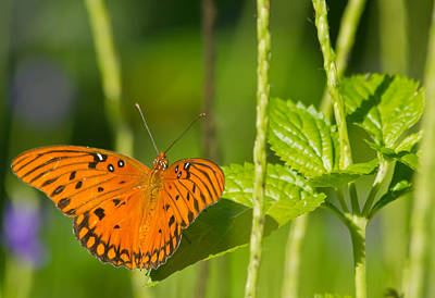 Art Print featuring the photograph Gulf Fritillary by Jane Luxton