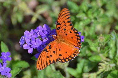 Photograph - Gulf Fritillary by Jodi Terracina