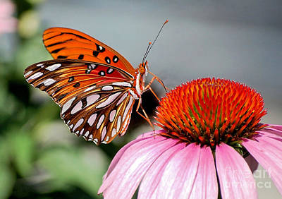 Photograph - Gulf Fritillary On A Cone Flower by Kathy Baccari