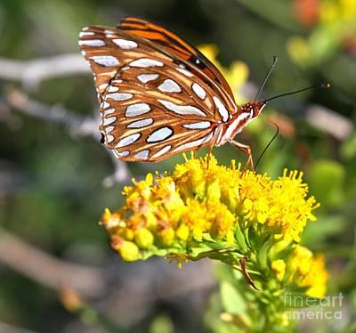 Photograph - Gulf Fritillary On A Flower by Adam Jewell