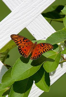 Photograph - Gulf Fritillary On Passion Flower Vine by John Black