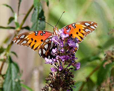 Photograph - Gulf Fritillary On Purple Buddleia by John Black