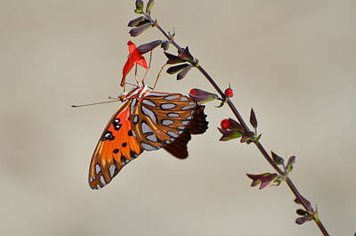Photograph - Gulf Fritillary Underwings by Jodi Terracina