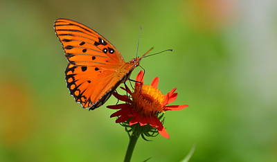 Photograph - Gulf Fritillary With Silver Wings by Jodi Terracina