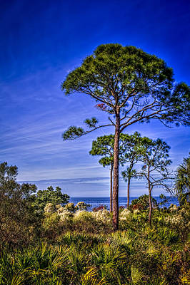 Palmetto Photograph - Gulf Pines by Marvin Spates