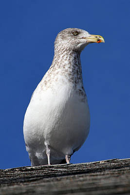 Photograph - Gull by Bob Slitzan