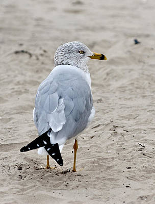 Photograph - Gull by Carol Erikson