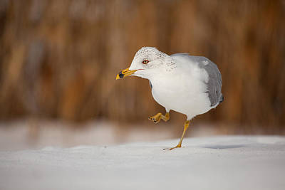 Photograph - Gull Dance by Karol Livote