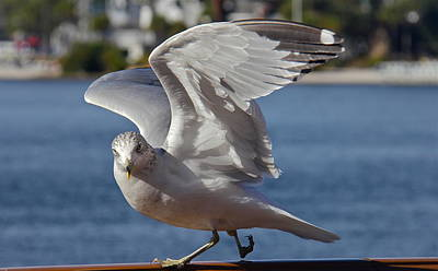 Photograph - Gull Flexing His Wings by Denise Mazzocco