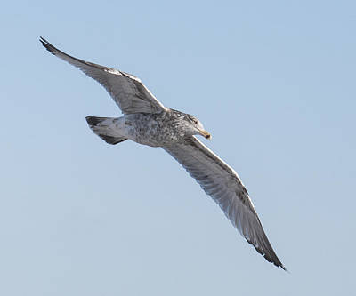 Photograph - Gull Flight by Ross Powell