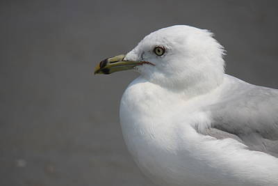 Photograph - Gull Head by Mustafa Abdullah