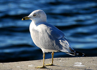 Photograph - Gull by Kirk Stanley