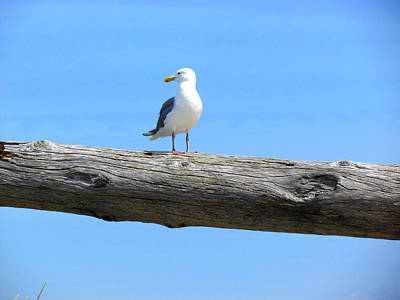 Driftwood Photograph - Gull On Driftwood by Marie Jamieson