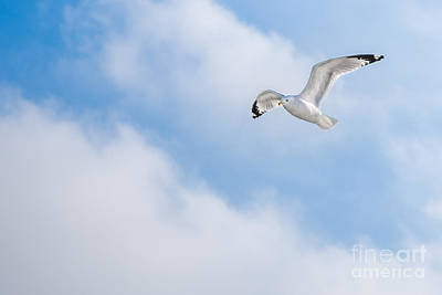 Photograph - Gull On Winter Sky  by Michael Arend