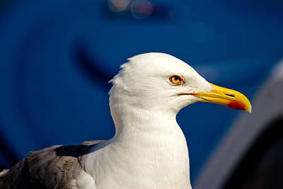 Photograph - Gull Posing by Brch Photography