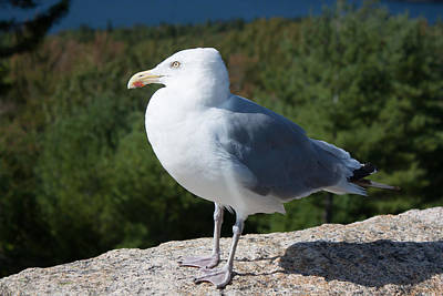 Photograph - Gull Sentry by Kirkodd Photography Of New England