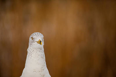 Photograph - Gull Stare by Karol Livote