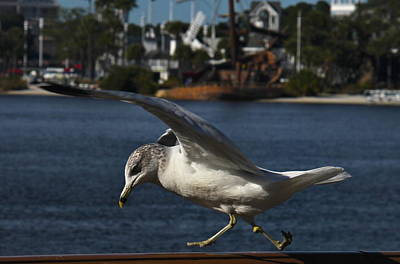 Photograph - Gull Taking A Walk by Denise Mazzocco