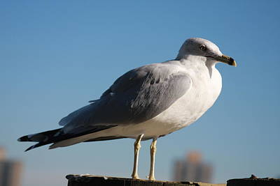 Photograph - Gull by Vadim Levin