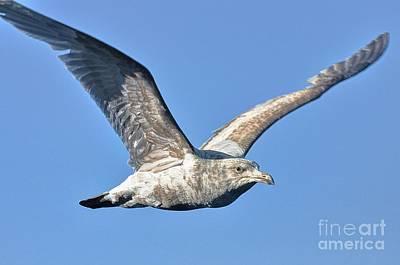 Gull Wings Art Print by Phillip Garcia