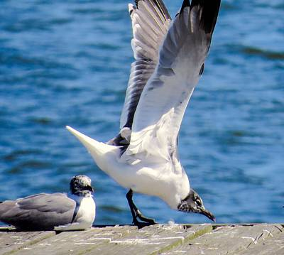 Gulls Of Florida Art Print