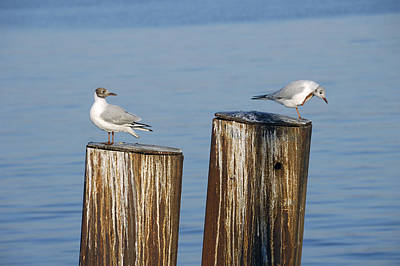 Photograph - Gulls Sitting On Pole by Matthias Hauser