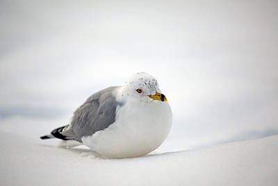 Gulls Winter Pose Art Print