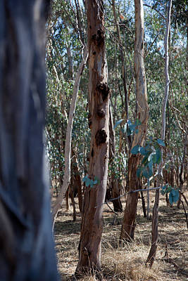 Photograph - Gum Forest by Carole Hinding