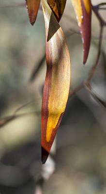 Photograph - Gum Leaf - Australia by Steven Ralser