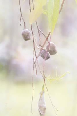 Gum Nuts Art Print by Elaine Teague