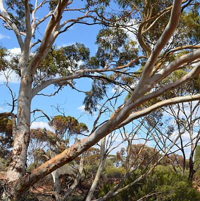 Photograph - Australian Gumtree 1.1 by Cheryl Miller