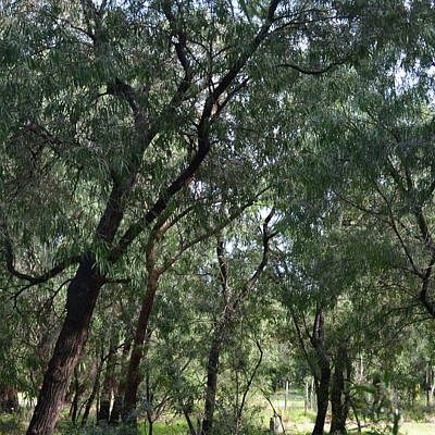 Photograph - Gumtrees In Winter by Cheryl Miller